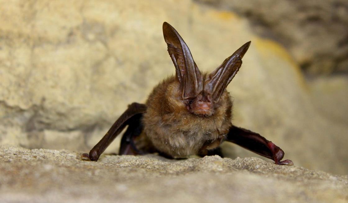 A female Virginia big-eared bat