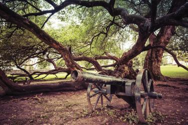 Osage orange tree and cannon at Old Fort Harrod State Park, Harrodsburg, Ky.