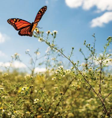 Monarch Butterfly at Perryville Battlefield State Historic Site, Perryville, Ky.